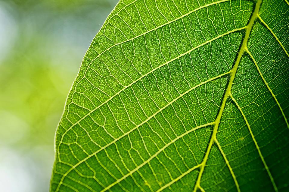 Leaves, Leaf, Walnut Leaf, Spring, Macro, Green