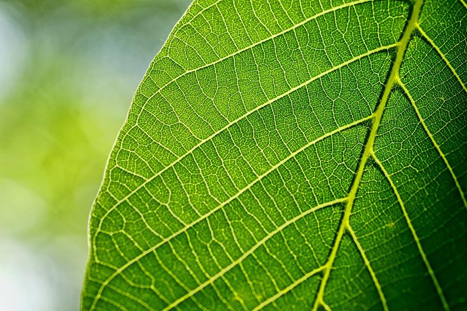Leaves, Leaf, Walnut Leaf, Spring, Macro, Green