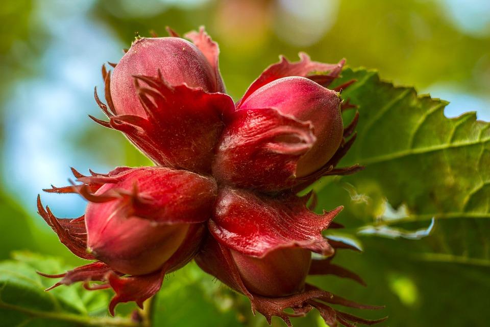 Walnut, Nature, Tree, Spring, Flower