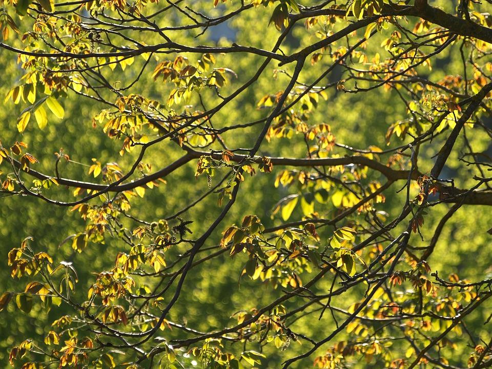 Walnut Tree, Leaves, Sun, Walnut, Tree, Foliage