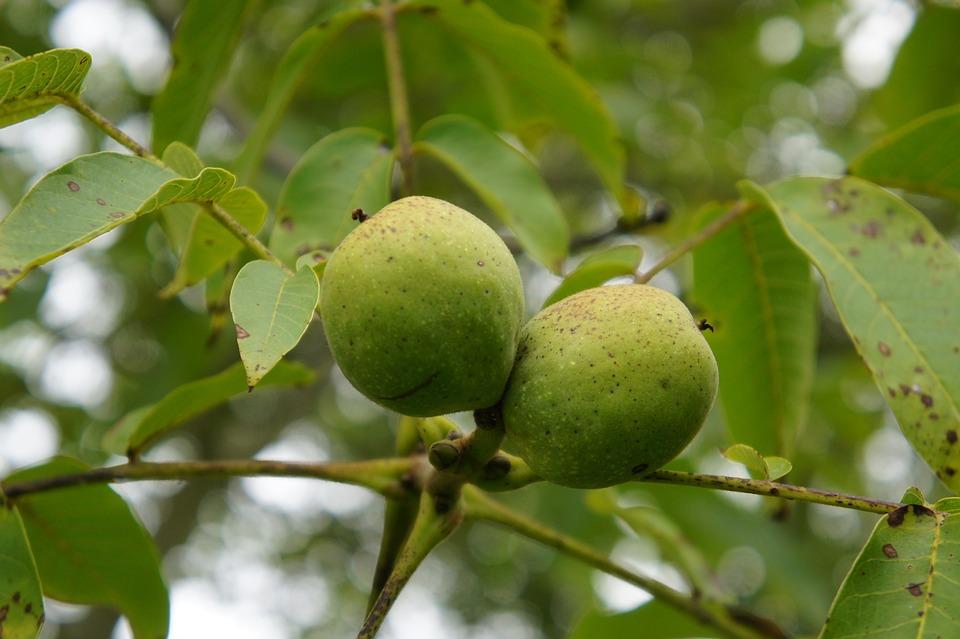 Walnut, Nuts, Walnut Crop, Food, Walnuts, Tasty