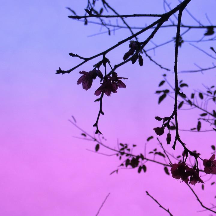 Cherry Blossom, Flickering, Wanton