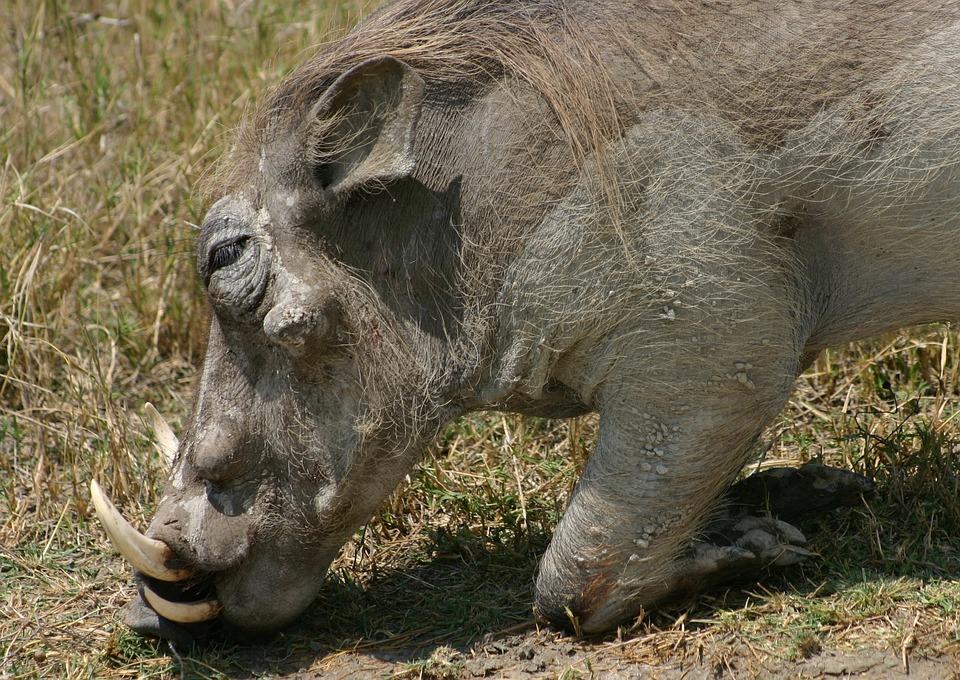 Animal, Wildlife, Mammal, Nature, Wild, Warthog