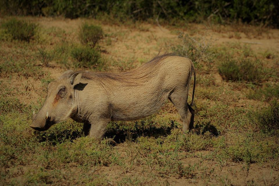 Warthog, Safari, South Africa, Addo Elephant Park
