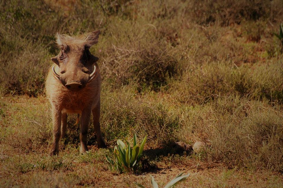 Warthog, Safari, Nature, South Africa, Wilderness