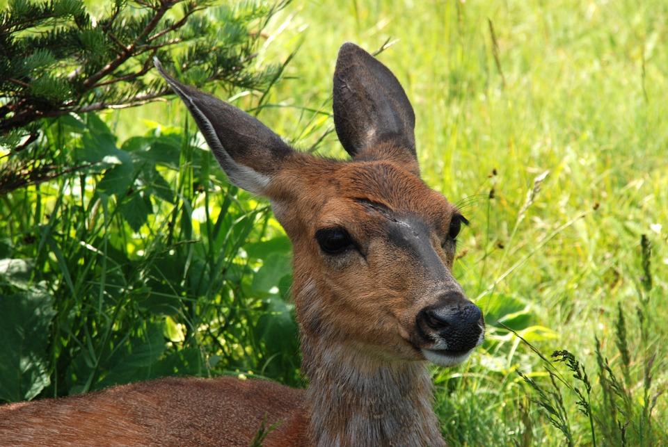 America, Washington State, Animal, Mammal, Deer, Wound