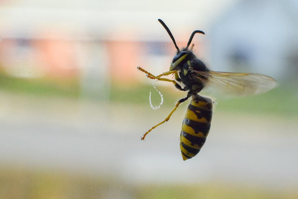 Wasp, Insect, Trapped