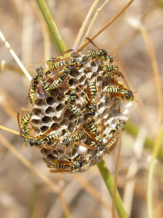 Paper Wasps, Wasps, Wasp Nest, Nest, Insects