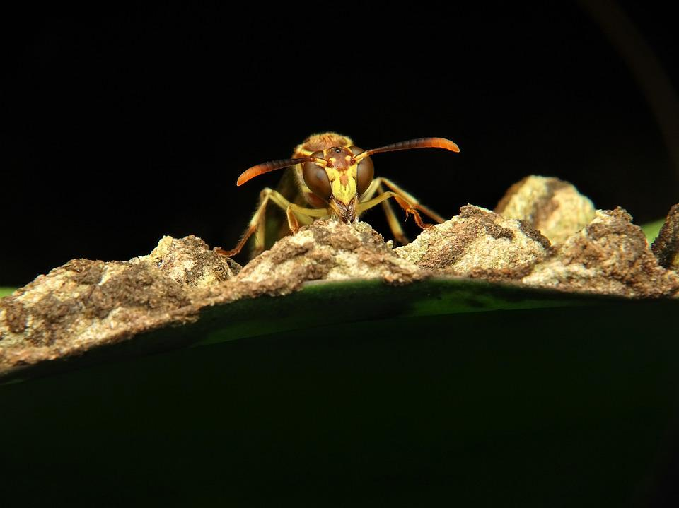 Wasp, Paper, Hornet, Bee, Insect, Fly, Flying, Nest