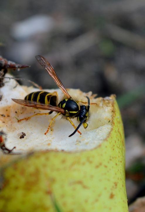 Wasp, Pear, Close Up, Late Summer, Nature