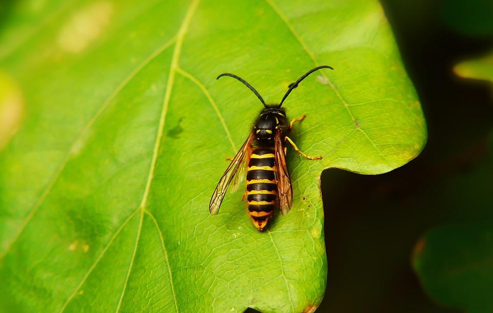 Wasp Saxon, Błonkówka, Insect, Antennae, Abdomen, Model