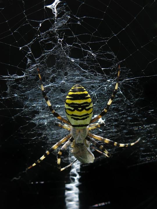 Wasp Spider, Spider, Cobweb, Orb Weaver, Arachnid