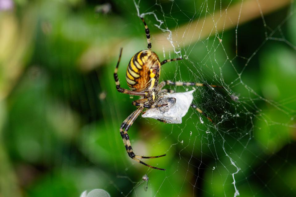 Wasp Spider, Cobweb, Caught, Fly, Macro, Weave