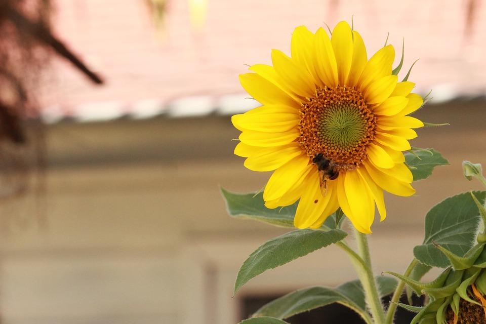 Blossom, Sunflower, Wasp, Vegetable, Garden, Flower