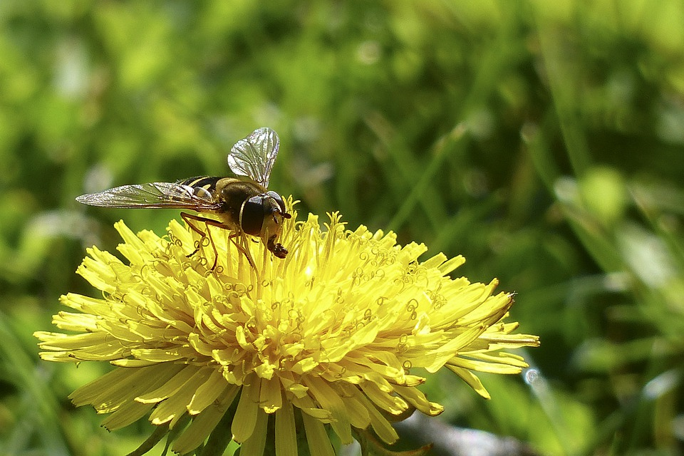 Dandelion, Wild Flower, Yellow, Insect, Wasp