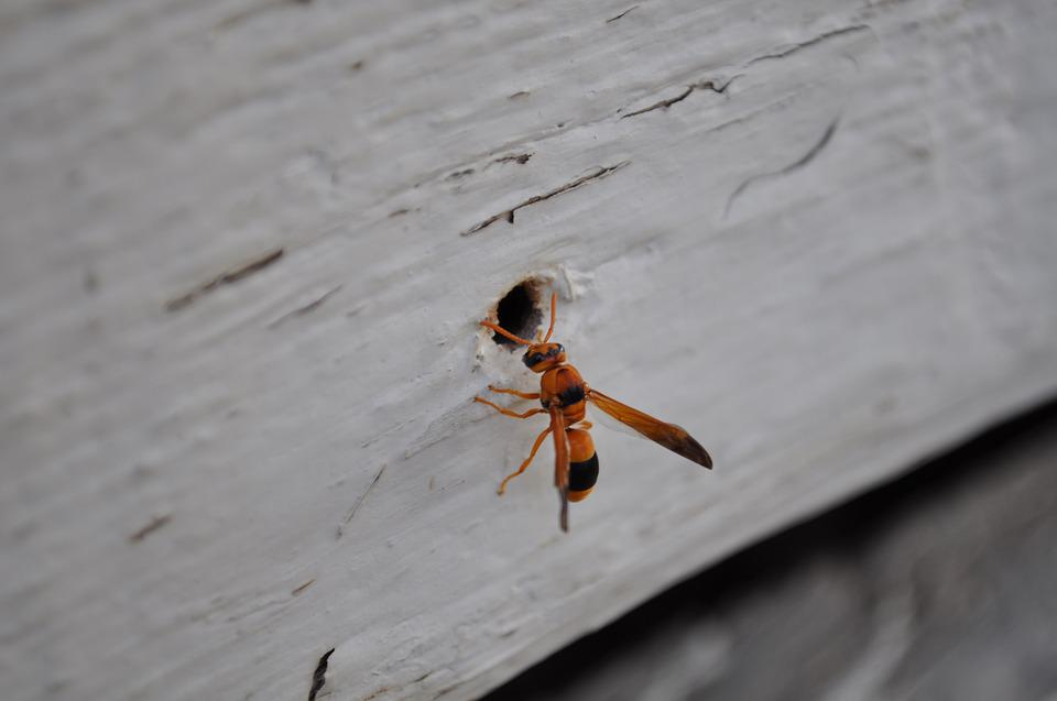 Nature, Insect, Animal, Spring, Hornet, Wasps, Wood