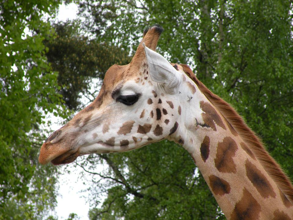 Giraffe, Watch, Scout, Animals, Zoo, Animal Planet