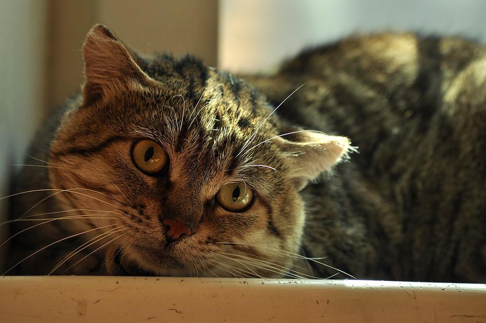 Cat Wild, Watch, View, Striped, Yard, Sunny, Light