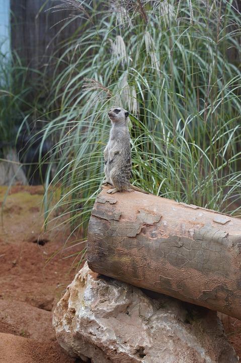 Meerkat, Supervisor, Supervision, Watch, Guard