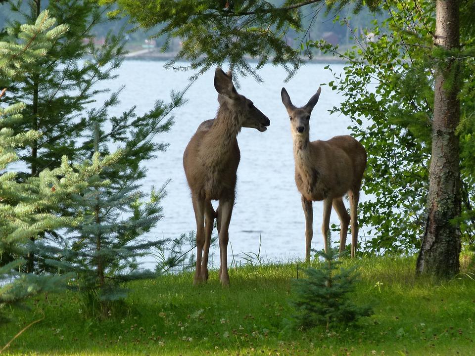 Deer, Animals, Mammal, Watching, Beware, Attention