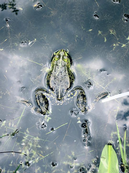 Frog, Nature, Water, Amphibians, Animal, Toad, Green