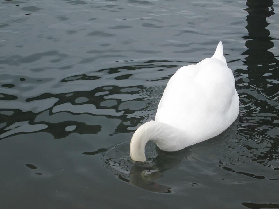 Underwater, Water, Animal, Swan, Bird, Head