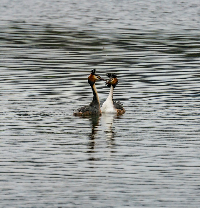 Great Crested Grebe, Bird, Water, Water Bird, Animal