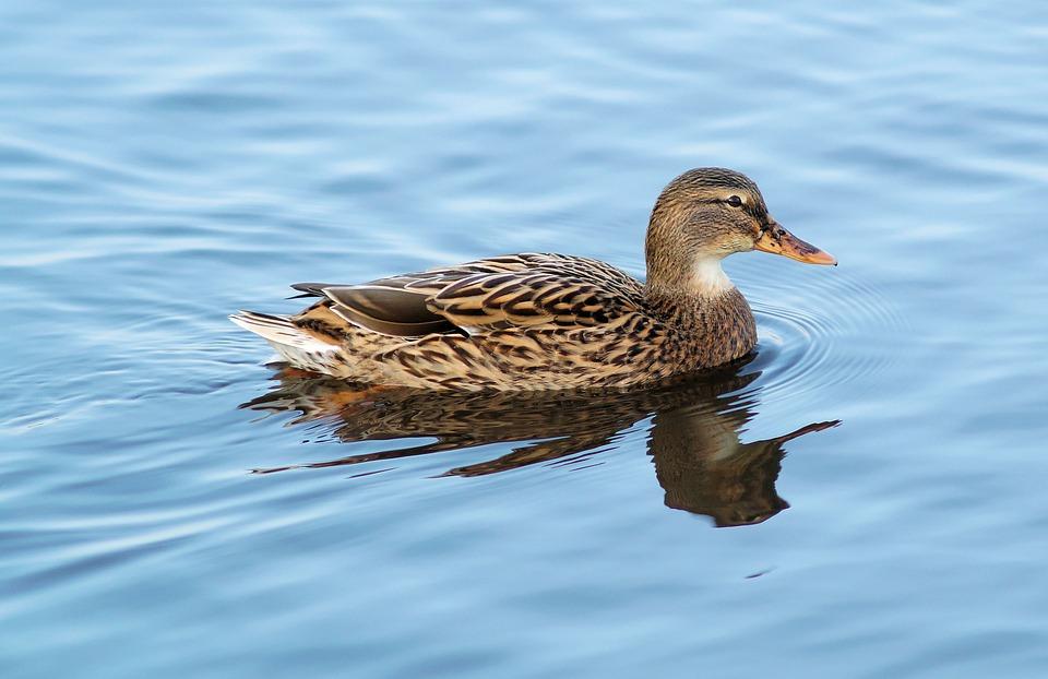 Mallard, Duck, Water, Animal, Water Bird, Swim, Female