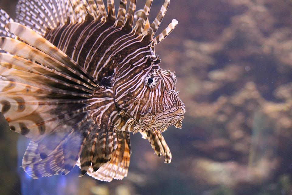 Lionfish, Aquarium, Fish, Water