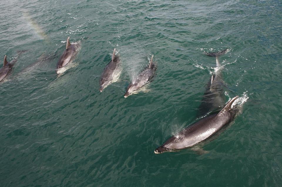 Dolphins, Water, New Zealand, Sea, Blue, Aquatic