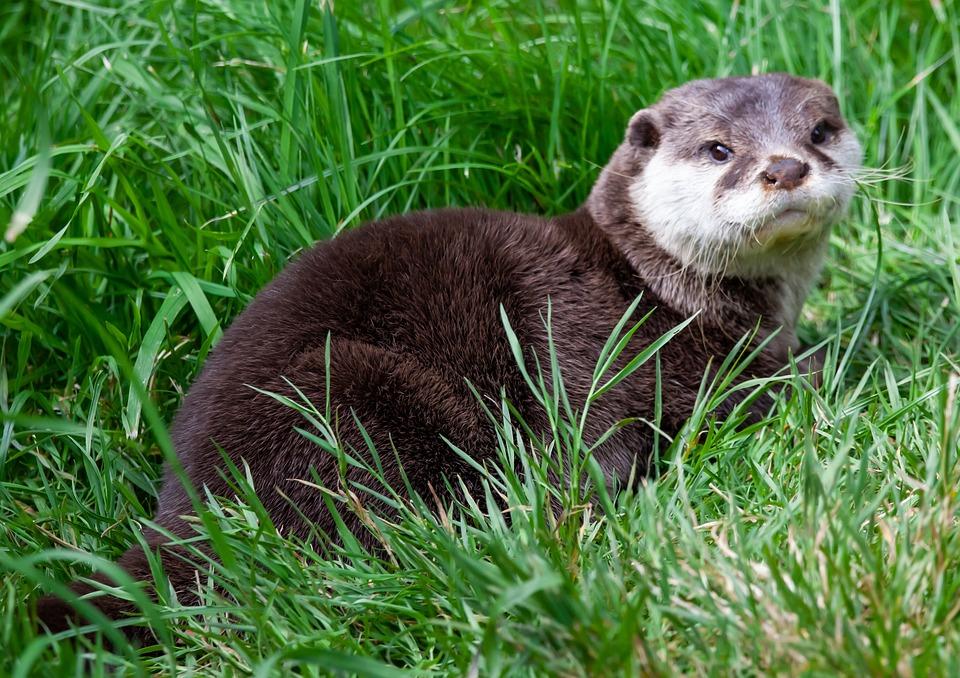 Asian Short-clawed Otter, Otter, Water, Grass, Playful