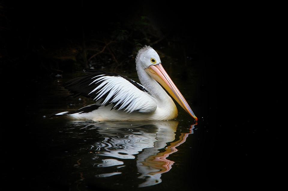 Pelican, Bird, Sea Birds, Water, Nature, Australia