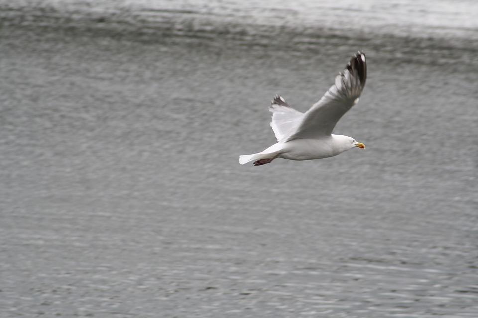 Seagull, Water, Bird, Baltic Sea, Water Bird, Sea