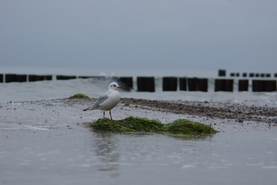 Seagull, Baltic Sea, Water, Seetank, Beach Buhne