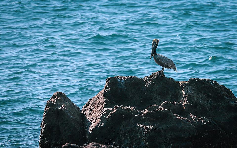 Pelican, Sea Bird, Ocean, Nature, Beach, Water, Coast