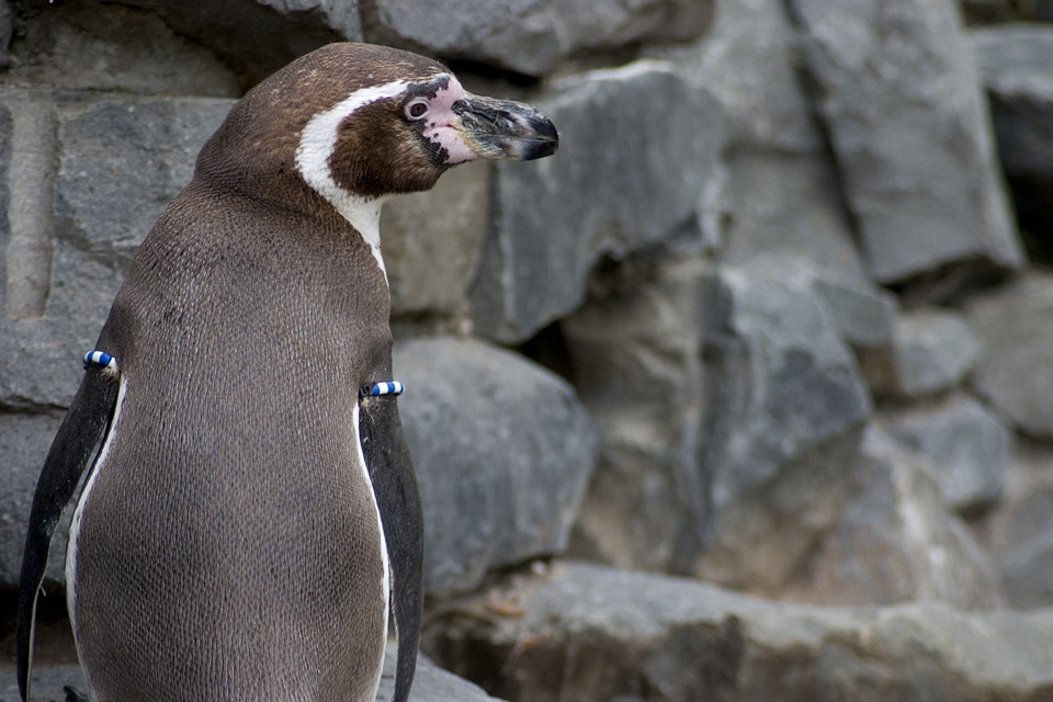 Humboldt Penguin, Humboldt, Penguin, Bill, Water, Fish