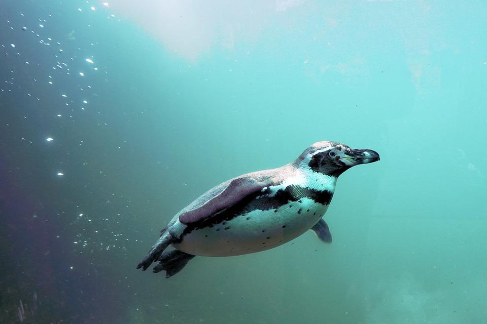 Penguin, Water, Bird, Swim, Animal, Humboldt, Bill