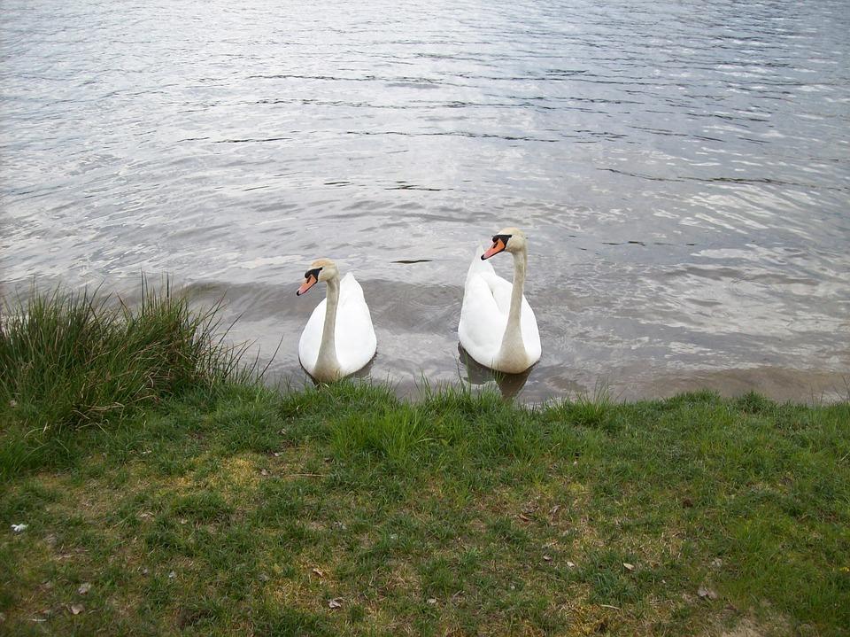 A White Swan, Water Bird, Animals