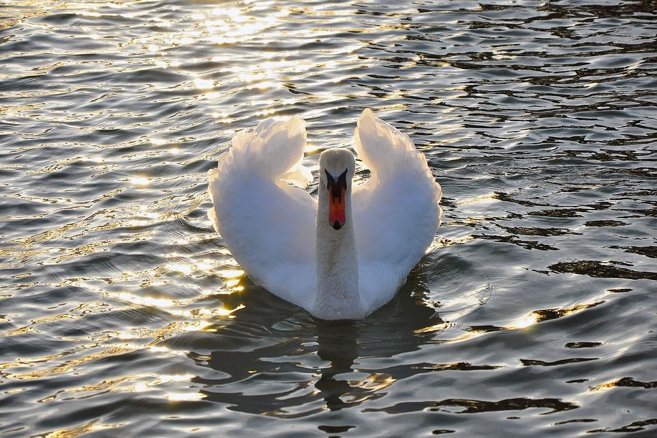 Swan, Water, Lake, Water Bird, Bird, Animal, Nature