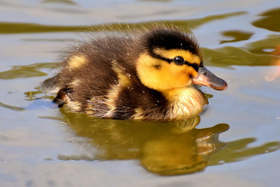 Duckling, Bird, Animal, Swim, Waterfowl, Water Bird