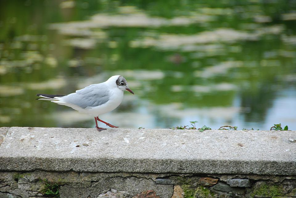 Seagull, Water Bird, Bird, Animal, Wall, Nature