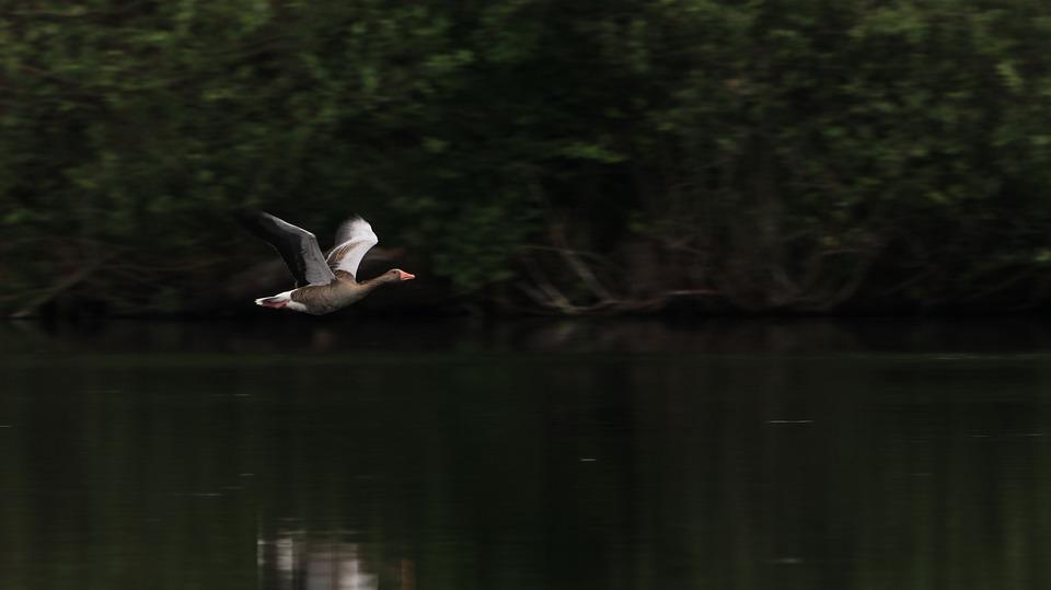 Flying, Goose, Lake, Animal World, Birds, Water Bird