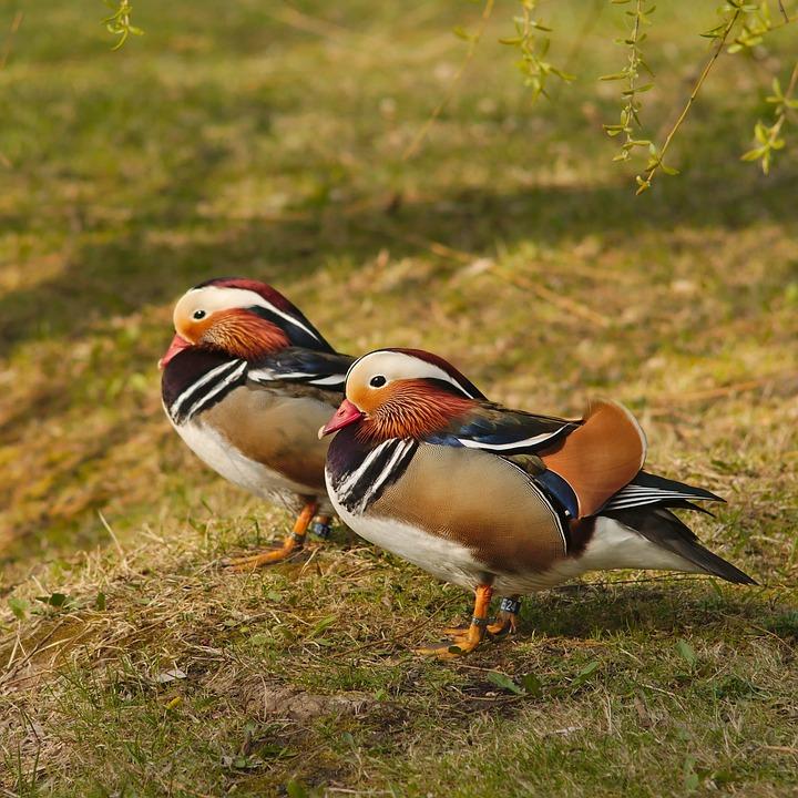 Mandarin, Duck, Bird, Nature, Pond, Water, Lake, Asia