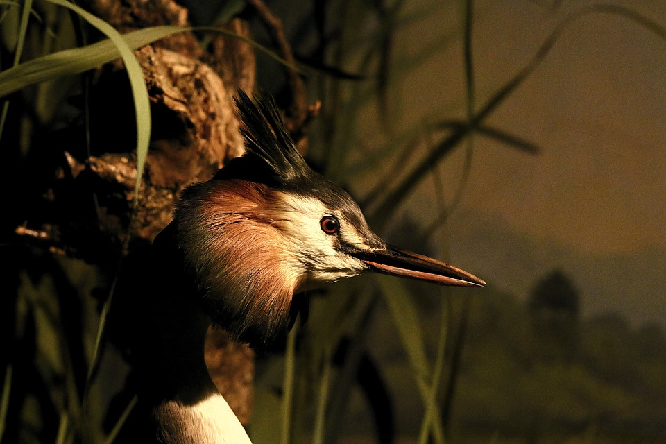 Great Crested Grebe, Water Bird, Bill, Plumage