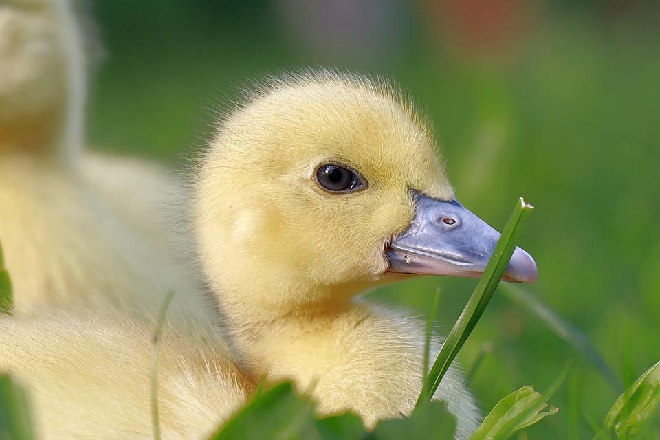 Duckling, Bird, Animal, Water Bird, Waterfowl, Beak