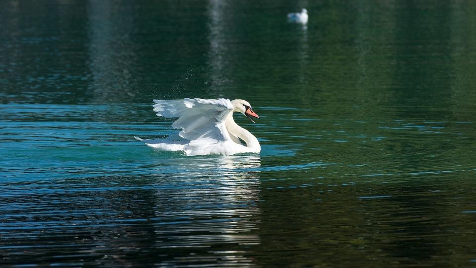 Swan, Lake, Water Bird, Swim, White Springs, Bird