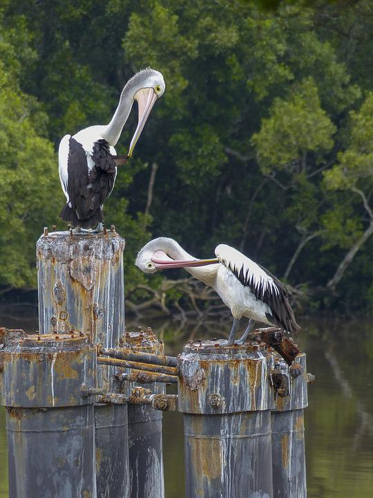 Australian Pelican, Water Bird, Bird, White, Water