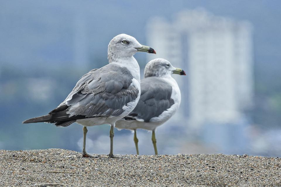 Seagulls, Birds, Sea, Seabirds, Water Bird, Wave