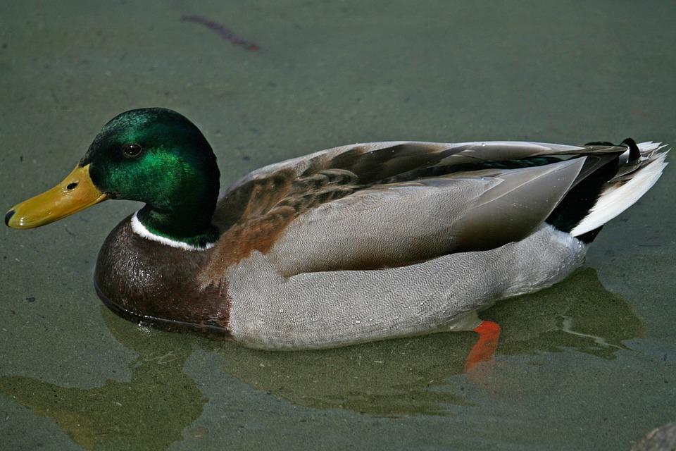 Mallard, Duck, Water Bird, Drake, Nature, Duck Bird