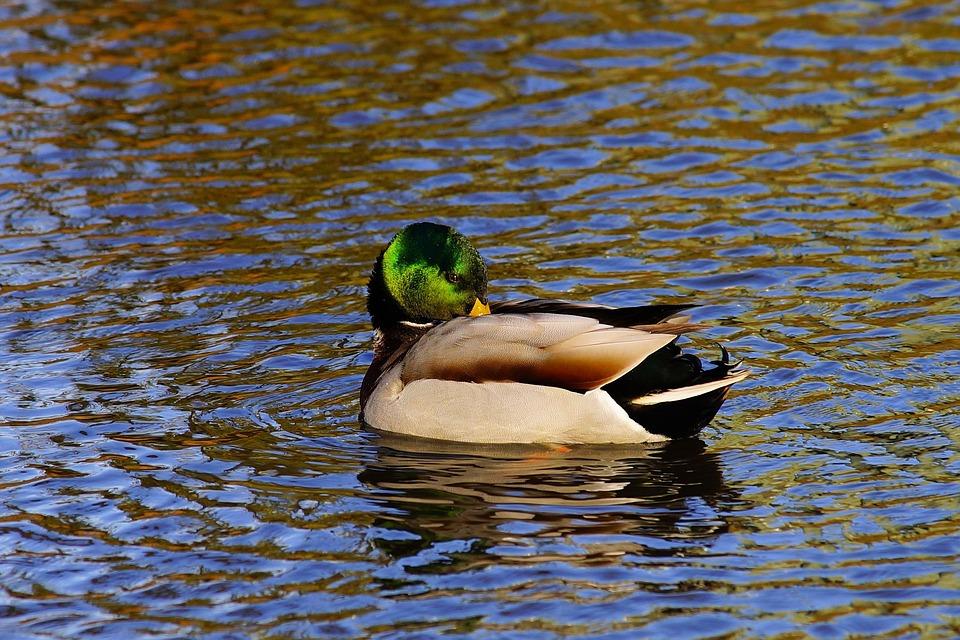 Duck, Drake, Water Bird, Mallard, Plumage, Nature